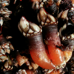 Percebes, riesgo y placer