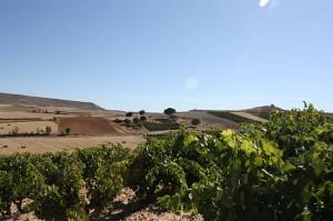 Bodegas Bardos - Ribera del Duero - Vinedo